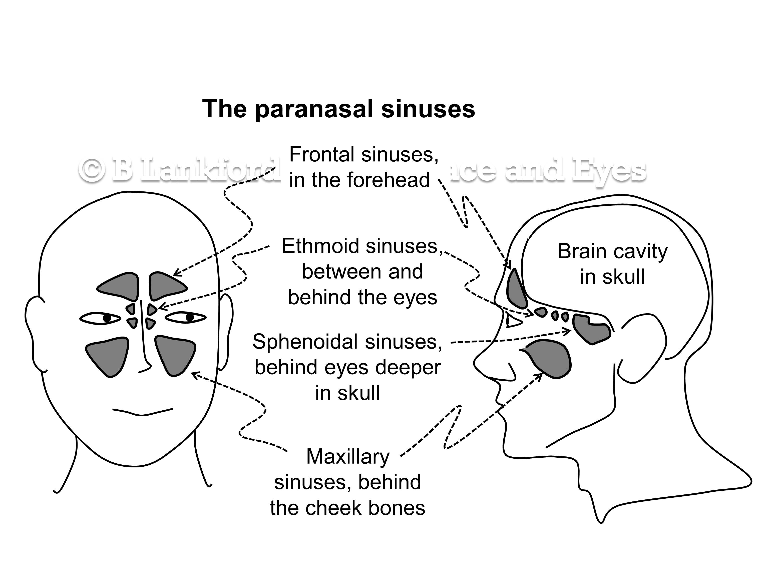 Misunderstanding sinuses | Relaxed Face: a personal ...